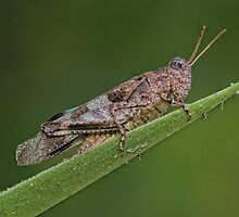 Grass Hopper by Glynn May