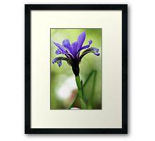 Holt Pond - Blue Flag (Iris) Framed Print