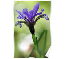 Holt Pond - Blue Flag (Iris) Poster