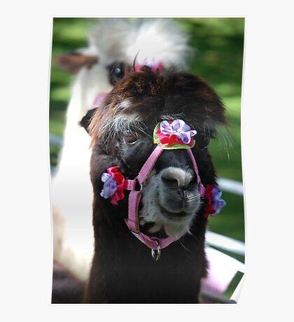 Best dressed alpaca Poster