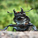 Stag Beetle female ( Lucanus cervus) by Istvan Natart