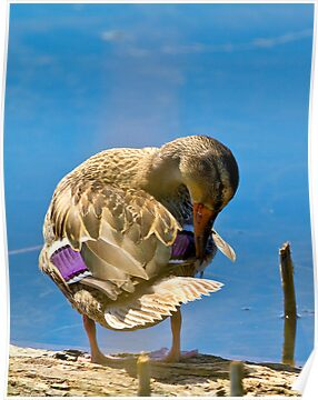 Female Mallard preening by amontanaview