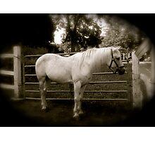 white horse 1 Photographic Print
