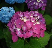 Hot Pink Hydrangea by charmedy