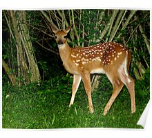 Oh Hi!  Nice to Meet You (White-tailed Deer Fawn) Poster