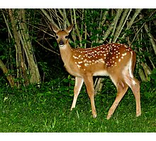 Oh Hi!  Nice to Meet You (White-tailed Deer Fawn) Photographic Print