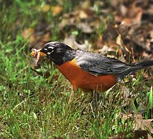 Robin with worm... by Poete100