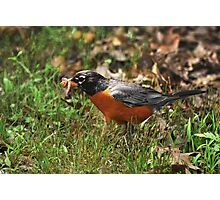 Robin with worm... Photographic Print