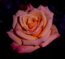 Rose Multicolors by charmedy