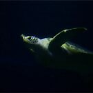 Floating Turtle by RockyWalley