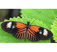 Butterfly on jagged leaf Photographic Print