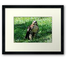 Red Tailed Hawk 2 Framed Print
