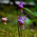 Calypso Orchid - Wildflowers of Alberta by Roxanne Persson