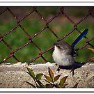 Blue Wren by Bronwyn Munro