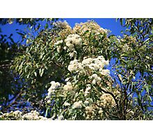 Gums in Bloom Photographic Print