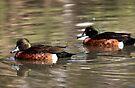 Two Brown Ducks by yolanda