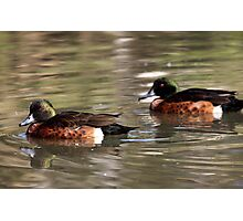 Two Brown Ducks Photographic Print