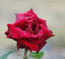 """Wet Rose"" by Jimmy Deas"
