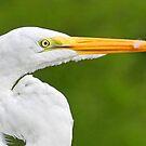 Breeding great white egret profile by jozi1
