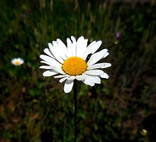 White Daisy by Chris Gudger