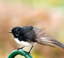 Bathtime - Willy wagtail in the rain by Jenny Dean