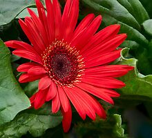 A Red Flower 2012 by LarryB007