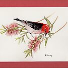 Scarlet Honeyeater on bottlebrush by bushpalette