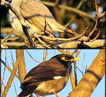 A Myna Problem by Donna Keevers Driver