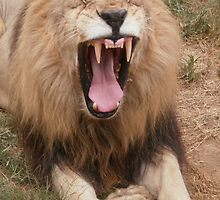 Male African Lion Yawning by Rebecca White