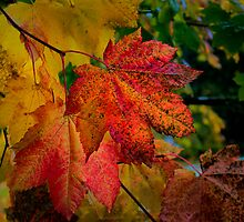 Fall Vine Maples by Charles & Patricia   Harkins ~ Picture Oregon