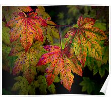 Vine Maples In Change Poster