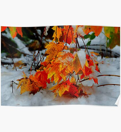 Vine Maples In The Snow Poster