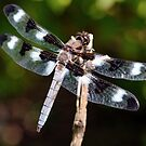 Twelve-Spotted Skimmer by Stephen Beattie