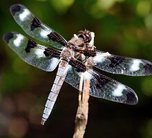Twelve-Spotted Skimmer by Stephen Beattie