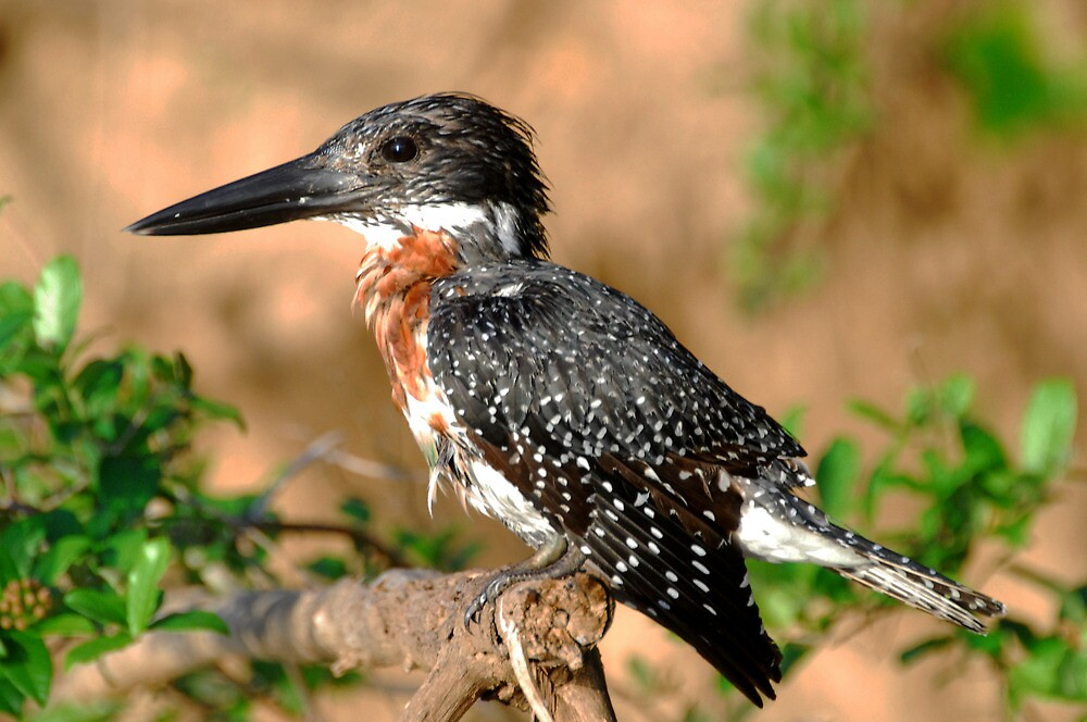 Tanzania - Giant kingfisher by Marieseyes