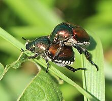 Japanese Beetle by SusieG