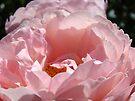 Glowing Pink Sunlit Rose Flower art print Baslee Troutman by BasleeArtPrints