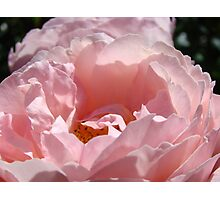 Glowing Pink Sunlit Rose Flower art print Baslee Troutman Photographic Print