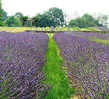 Field of Lavender by Marriet