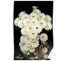 Echinopsis Cactus Full Bloom Poster