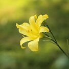 Yellow Lily by Carrie Bonham
