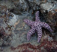 Second Beach Starfish (La Push, Washington) by Brendon Perkins