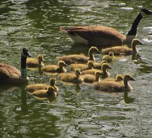 """Canada Geese Family"" 3 by dfrahm"