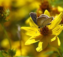Grey Hairstreak on Tickseed Sunflower by Ron Russell