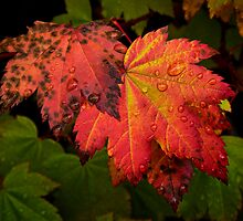 Red Vine Maple Leaves by Charles & Patricia   Harkins ~ Picture Oregon