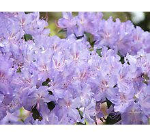 Rhododendron Flowers Purple Lavender Rhodies art Photographic Print