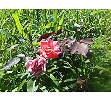 Wild Rose nestled in Grass Photographic Print