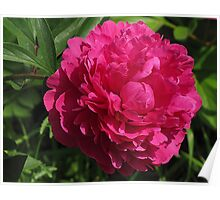 The Splendour of the Peony Poster