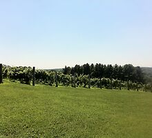 Vineyard on the hill by kalitarios