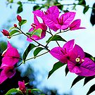 Bougainvillea - in my garden........ by Roy  Massicks